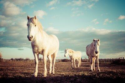 Posters Trois chevaux blancs camarguais vintage
