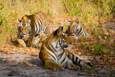 Posters Trois tigres sauvages dans la jungle. Inde. Parc national de Bandhavgarh. Madhya Pradesh. Une excellente illustration.