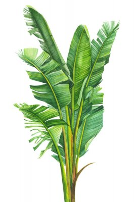 Posters tropical plants, banana palm on an isolated white background, watercolor illustration, hand drawing, botanical painting