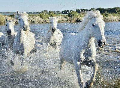 Posters Troupeau de chevaux blancs Courir et pataugeant dans l'eau