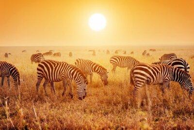 Posters Troupeau de zèbres sur la savane africaine au coucher du soleil.