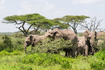 Posters Troupeau, Éléphants, debout, parmi, Acacia, Arbres, sur, les, Serengeti, savane, paysage