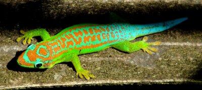 Posters Turquoise coloré gecko vert