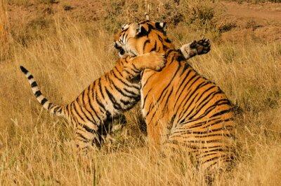 Posters Un moment de tendresse entre un tigre du Bengale et son petit