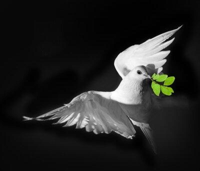Posters Un pigeon blanc