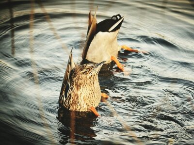 Posters View Of Ducks In Water