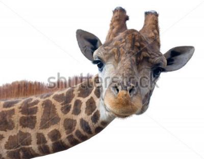 Posters Visage tête de girafe isolé sur fond blanc