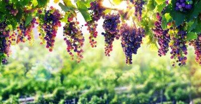 Posters Viticulture The Sun qui mûrit Les Raisins