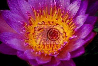 Water lily gros plan