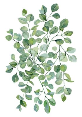 Posters Watercolor banner background with hand painted silver dollar eucalyptus. Green branches and leaves isolated.  Floral illustration for wedding inspiration card, template, print.