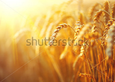 Posters Wheat field. Ears of golden wheat close up. Beautiful Nature Sunset Landscape. Rural Scenery under Shining Sunlight. Background of ripening ears of meadow wheat field. Rich harvest Concept