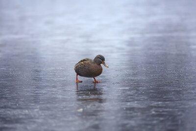 Posters wintering birds / bird flock, winter lake, wild birds on winter lake, seasonal, migratory ducks