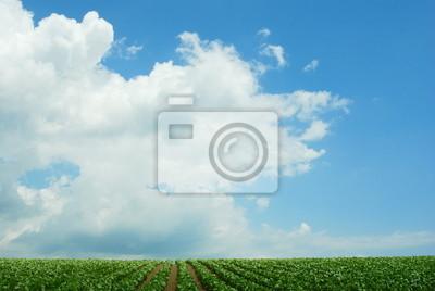 ビート 畑 と 夏 の 雲