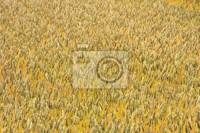 一 面 の 小 麦畑