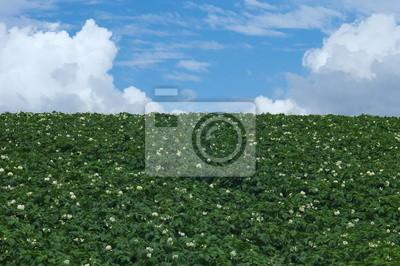 夏 雲 と ジャガイモ 畑