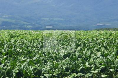 高原 の 野菜 畑