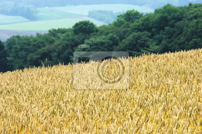 高原 の 小 麦畑