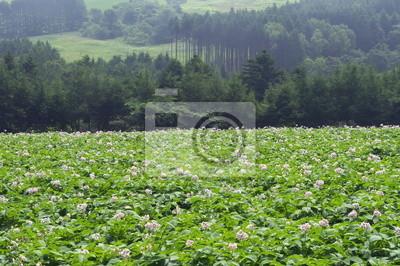 高原 の ジャガイモ 畑