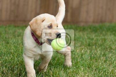 Yellow Lab Puppy jouer avec une balle de tennis