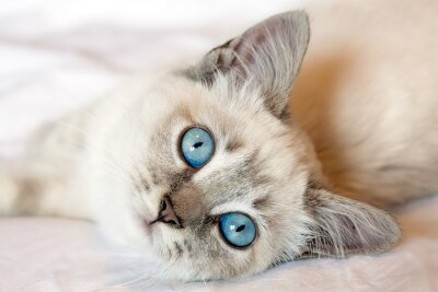 Posters Yeux bleus Kitten