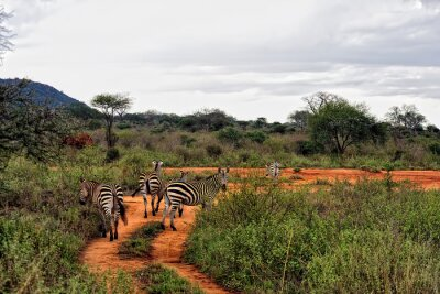 Posters Zebra