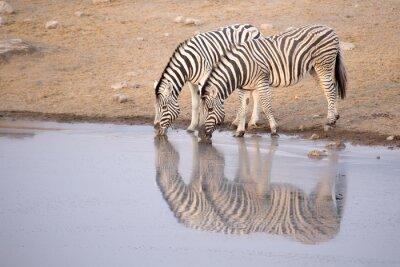 Posters Zebra, boire, eau, trou