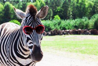 Posters Zebra drôle avec des lunettes de soleil