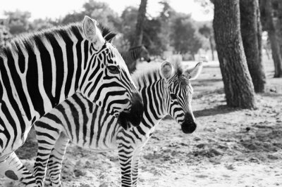 Posters Zebra in Safari à Tel-Aviv