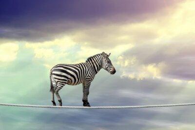Posters Zebra marchant sur une corde