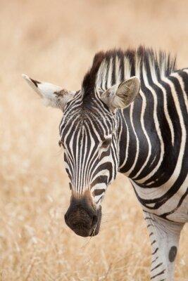 Posters Zebra, portrait, Kruger, Parc, sud, afrique
