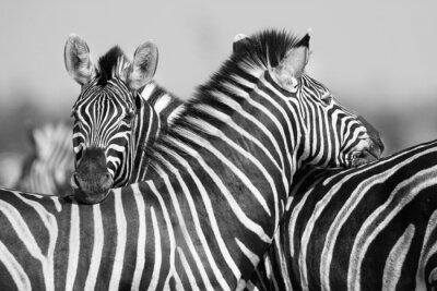 Posters Zebra troupeau photo noir et blanc avec des têtes ensemble