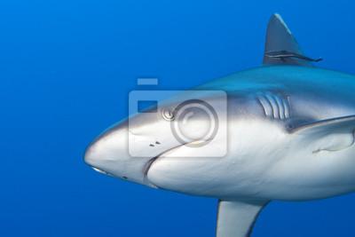 A mâchoires de requins gris prêt à attaquer de près portrait