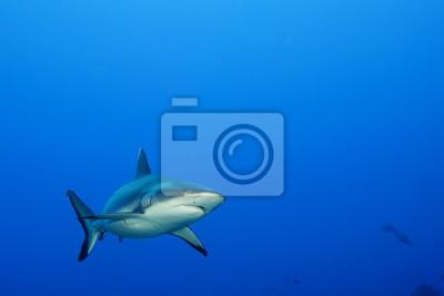 A mâchoires de requins gris prêt à attaquer sous-marine de près portrait