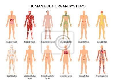 Sticker Affiche de systèmes d'organes du corps humain