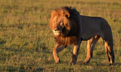 Sticker African Lion