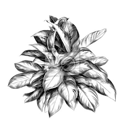 Sticker Aglaonema Croquis De Fleurs Graphiques Vectoriels Dessin Noir