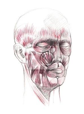 Anatomie de visage