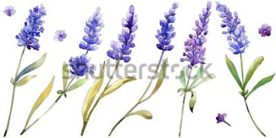 Sticker Aquarelle fleurs de lavande pourpre. Fleur botanique florale. Élément d'illustration isolé. Aquarelle wildflower pour le fond, la texture, le motif d'emballage, le cadre ou la bordure.