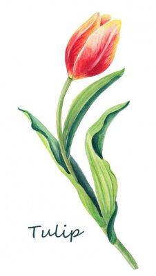 Sticker Aquarelle illustration florale de belle tulipe sur le fond blanc. Carte de voeux mignonne.Spring rouge, jaune, fleur orange et feuilles vertes. Carte de voeux pour la journée des femmes.