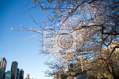 Arbre de fleurs de cerisiers dans la ville, New York