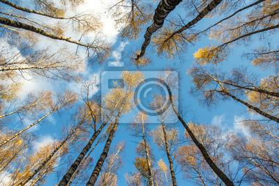 foto de Automne, bouleau, forêt, jaune, feuilles, bleu, ciel, fond ...