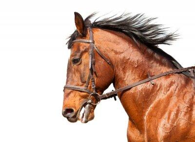Sticker Bay cheval profil sur un fond blanc. Fermer.