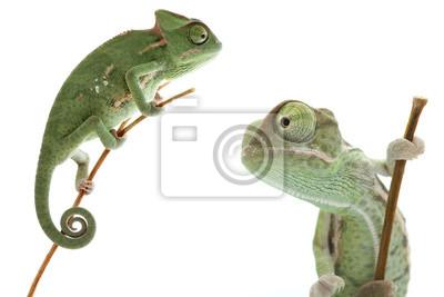 Sticker Beau bébé caméléon comme animal de compagnie exotique est isolé sur blanc