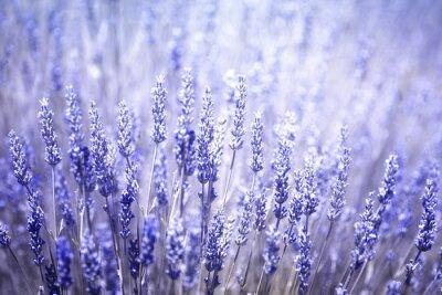 Sticker Beau, flou, flore, lavande, Usines, closeup, fond Filtre de couleur bleu violet et mise au point sélective.