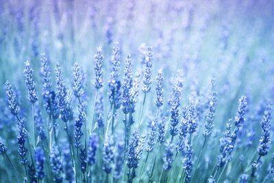 Sticker Beau, flou, flore, lavande, Usines, closeup, fond Filtre de couleur violette bleue et mise au point sélective.
