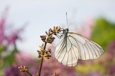 Sticker Beau, papillon, séance, fleurs, lilas