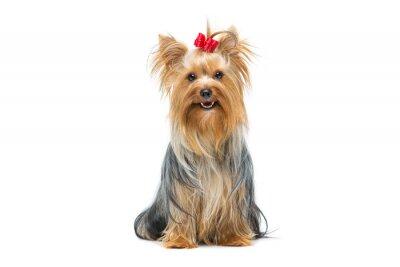 Sticker Beau, yorkshire, terrier, séance