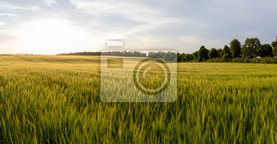 Sticker Beautiful crop field. summer sunset panorama around