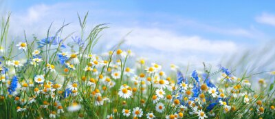 Sticker Beautiful field meadow flowers chamomile, blue wild peas in morning against blue sky with clouds, nature landscape, close-up macro. Wide format, copy space. Delightful pastoral airy artistic image.