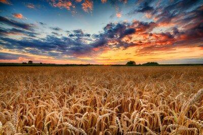 Sticker Beautiful summer sunrise over wheat fields